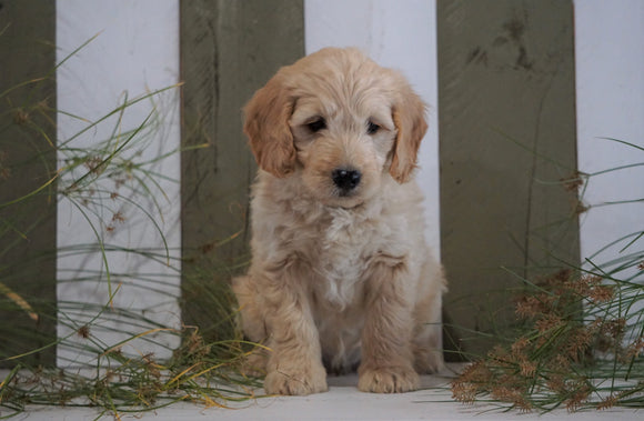 Mini Goldendoodle For Sale Fresno, OH Male- Prince