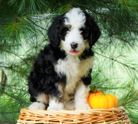 Standard Bernedoodle For Sale Baltic, OH Female- Terri