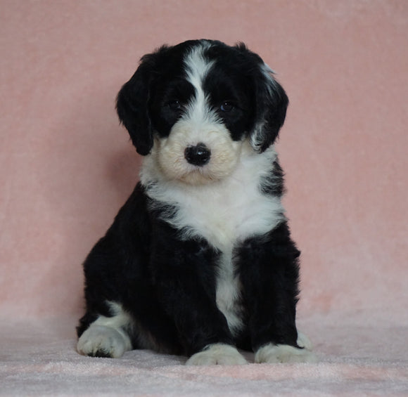 Sheepadoodle (Standard) For Sale Baltic, OH Male- Smokey