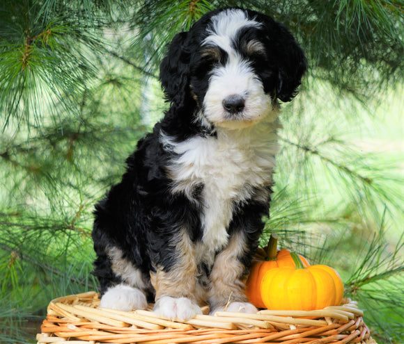 Standard Bernedoodle For Sale Baltic, OH Female- Brittany