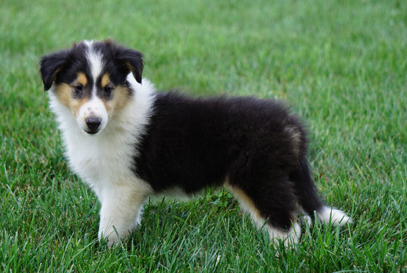AKC Registered Lassie Collie For Sale Fredericksburg, OH Male- Owen