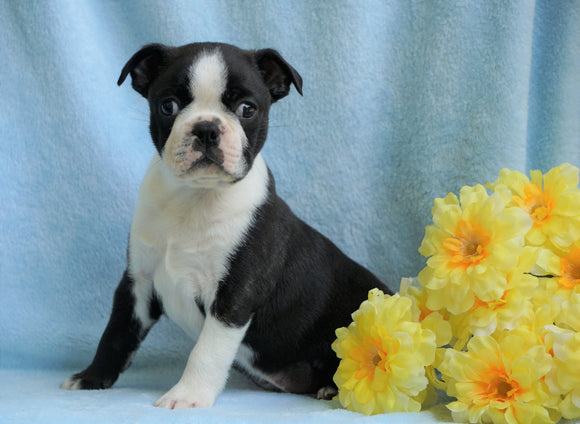 AKC Registered Boston Terrier For Sale Warsaw, OH Male- Coley