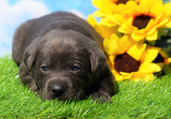 AKC Registered Charcoal Labrador Retriever For Sale Millersburg, OH Female- Roxy