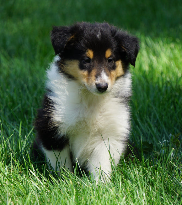 AKC Registered Lassie Collie For Sale Fredericksburg, OH Female- Odella