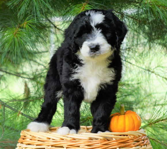 Standard Bernedoodle For Sale Baltic, OH Female- Selena