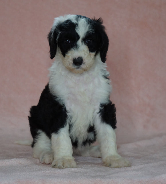 Sheepadoodle (Standard) For Sale Baltic, OH Female- Brooke