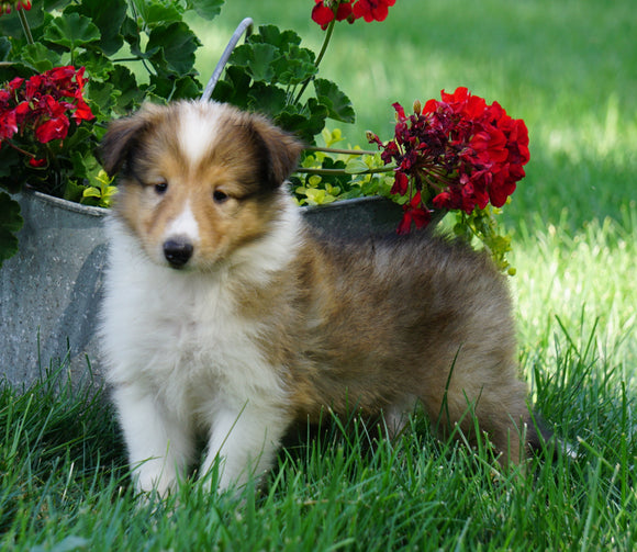 AKC Registered Lassie Collie For Sale Fredericksburg, OH Female- Lola