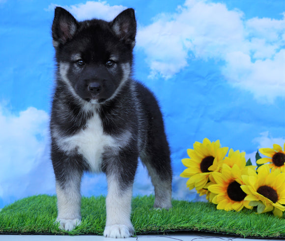 Norwegian Elkhound Hybrid For Sale Adamsville, OH Male- Delbert