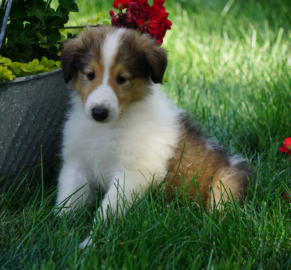 AKC Registered Lassie Collie Fredericksburg, OH Male- Larry