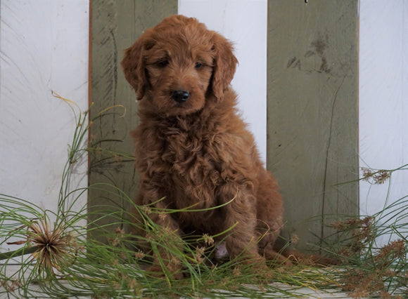 Mini Goldendoodle For Sale Fresno, OH Male- Willie