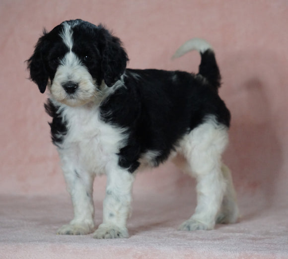 Sheepadoodle (Standard) For Sale Baltic, OH Female- Cindy