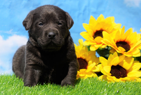 AKC Registered Charcoal Labrador Retriever For Sale Millersburg, OH Male- Blu
