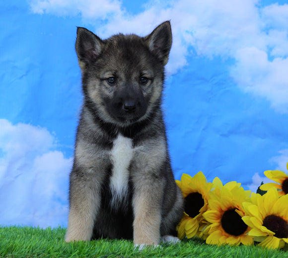 Norwegian Elkhound Hybrid For Sale Adamsville, OH Female- Lulu