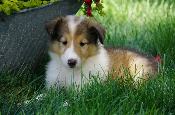 AKC Registered Lassie Collie For Sale Fredericksburg, OH Female- Lily