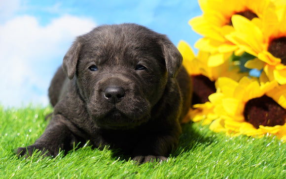 AKC Registered Charcoal Labrador Retriever For Sale Millersburg, OH Male- Tarzan