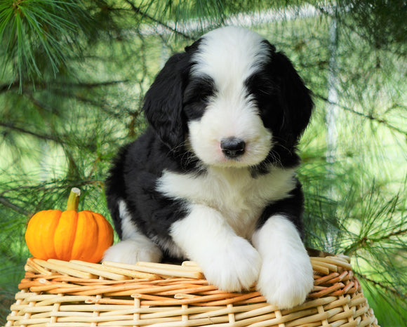 Standard Bernedoodle For Sale Baltic, OH Male- Jaxson