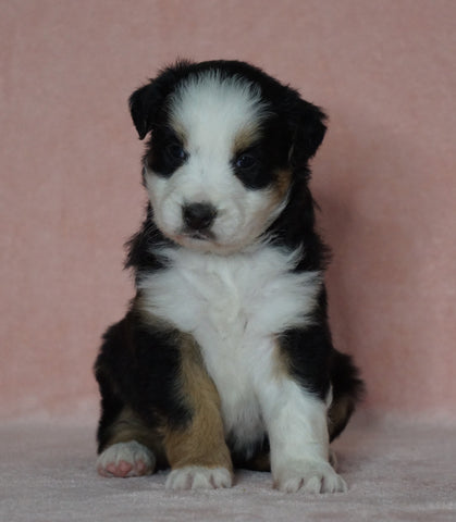 Australian Shepherd For Sale Baltic, OH Female- Trixie