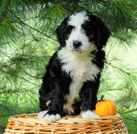 Standard Bernedoodle For Sale Baltic, OH Male- Alan