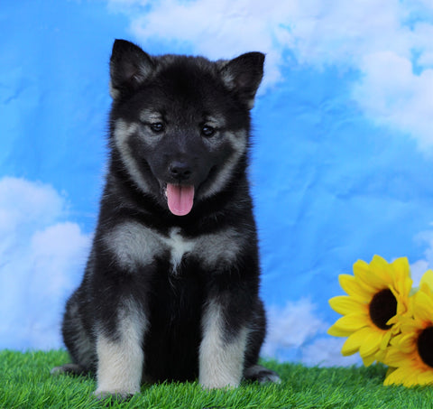 Norwegian Elkhound Hybrid For Sale Adamsville, OH Female- Sandy