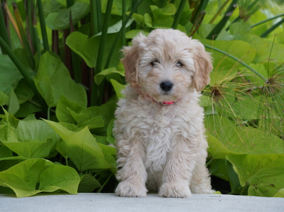 Mini Goldendoodle For Sale Fresno, OH Female- Willow