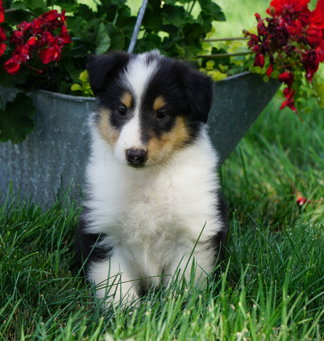 AKC Registered Lassie Collie For Sale Fredericksburg, OH Male- Linus