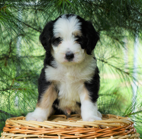 Standard Bernedoodle For Sale Baltic, OH Male- Cole