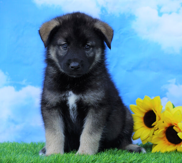 Norwegian Elkhound Hybrid For Sale Adamsville, OH Male- Ozzy