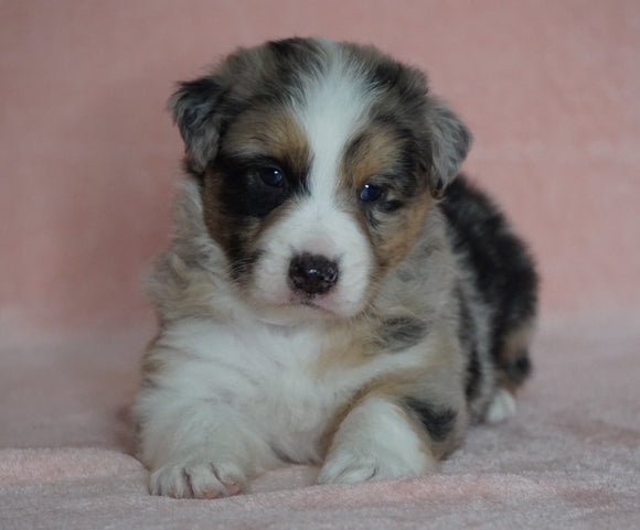 Australian Shepherd For Sale Baltic, OH Male- Diesel