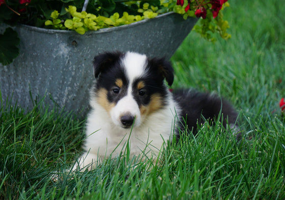 AKC Registered Lassie Collie For Sale Fredericksburg, OH Female- Lana