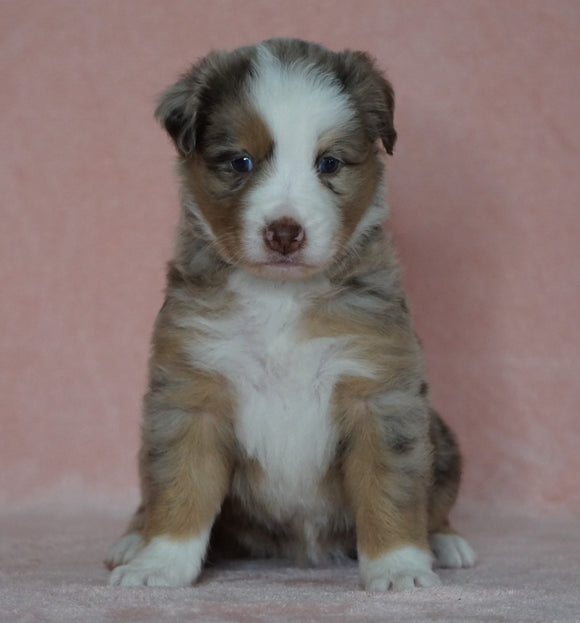 Australian Shepherd For Sale Baltic, OH Female- Shelly