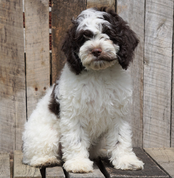 Cockapoo For Sale Wooster, OH Male- Patches