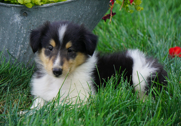 AKC Registered Lassie Collie For Sale Fredericksburg, OH Male- Laddy