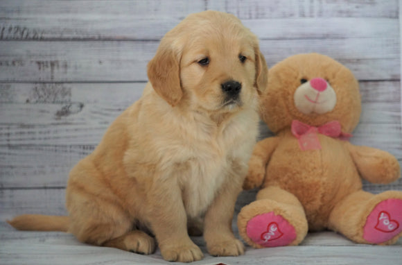 AKC Golden Retriever For Sale Holmesville, OH Female - Bella