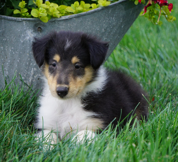 AKC Registered Lassie Collie For Sale Fredericksburg, OH Male- Les