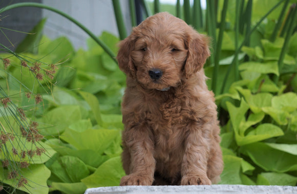 Mini Goldendoodle For Sale Fresno, OH Male- Moose