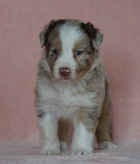 Australian Shepherd For Sale Baltic, OH Male- Connor *BLUE EYES*