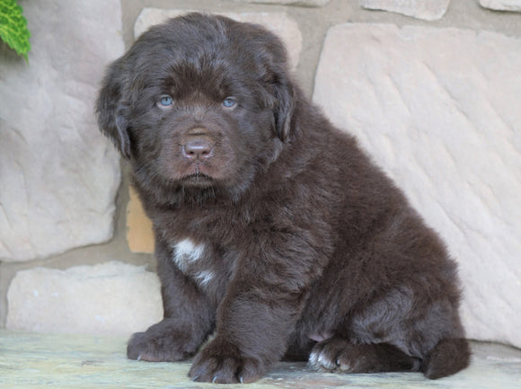 AKC Registered Newfoundland For Sale Dalton, OH Female- Lady