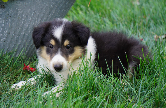 AKC Registered Lassie Collie For Sale Fredericksburg, OH Male- Lee