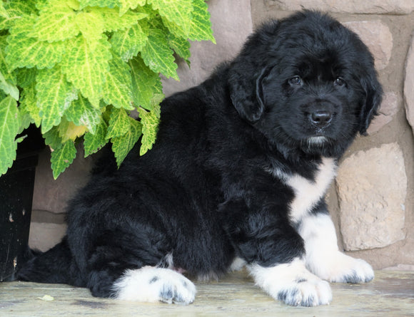 AKC Registered Newfoundland For Sale Dalton, OH Female- Panda