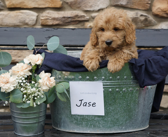 F2 Mini Goldendoodle For Sale Sugarcreek, OH Male- Jase