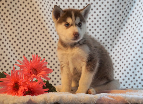 Siberian Husky For Sale Fredericksburg, OH Male- Alden