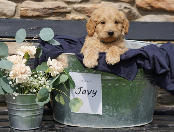 F2 Mini Goldendoodle For Sale Sugarcreek, OH Male- Javy