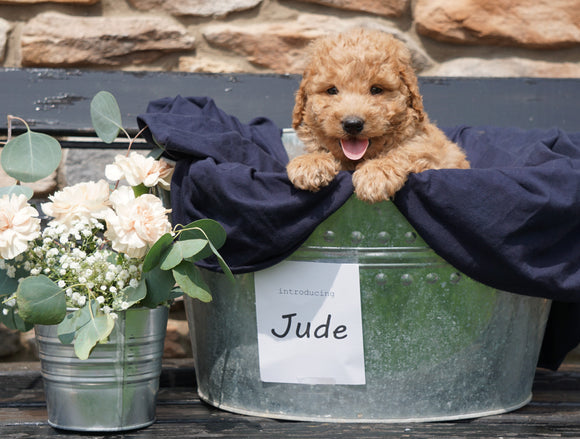 F2 Mini Goldendoodle For Sale Sugarcreek, OH Male- Jude