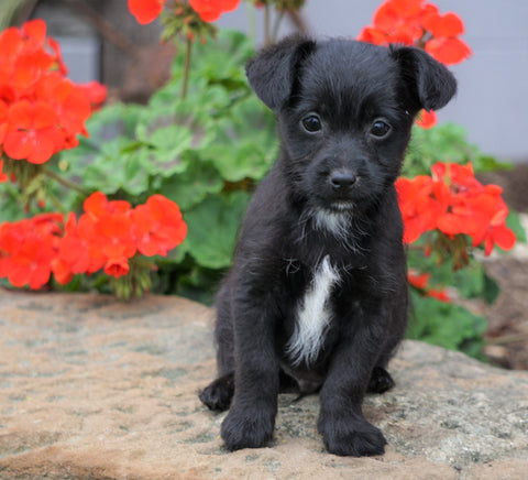 Foodle Puppy For Sale Applecreek, OH Male - Ranger