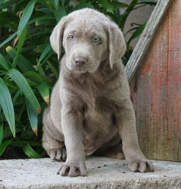 AKC Registered Silver Labrador Retriever For Sale Sugarcreek, OH Female- Bonnie