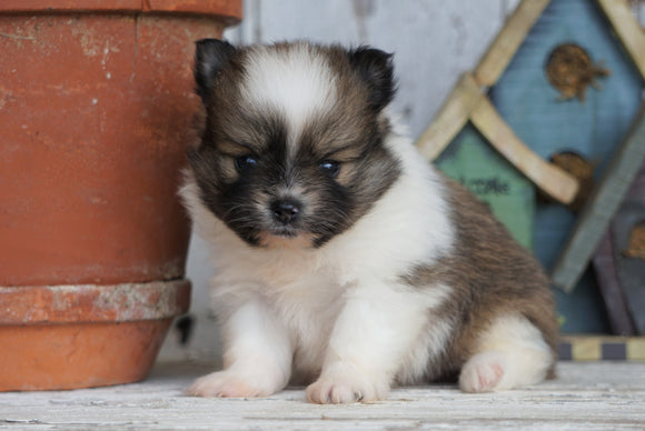 ACA Registered Pomeranian For Sale Millersburg, OH Male- Tucker