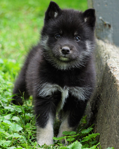 Mini Pomsky For Sale Sugarcrek, OH Male- Max