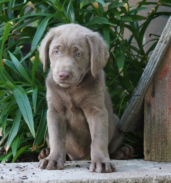 AKC Registered Silver Labrador Retriever For Sale Sugarcreek, OH Female- Izzy