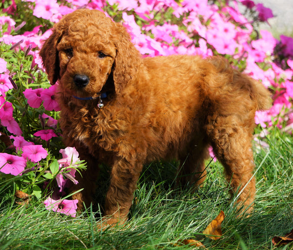 AKC Registered Standard Poodle For Sale Loudenville, OH Male- Oliver