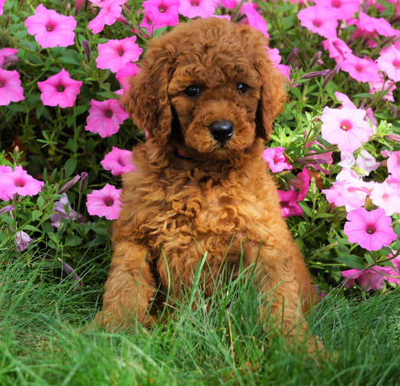 AKC Registered Standard Poodle For Sale Loudenville, OH Male- Daimen